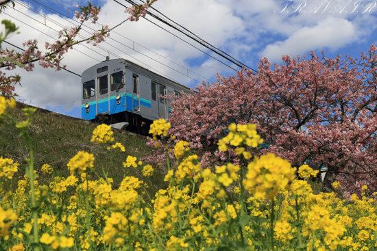 伊豆急8000系 桜と菜の花