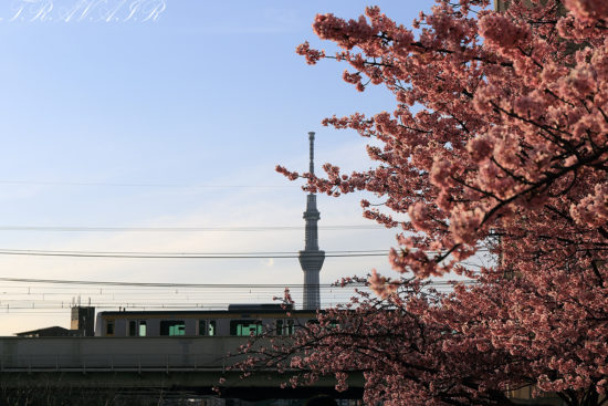 旧中川の河津桜