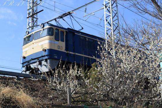 EF65-501と梅の花